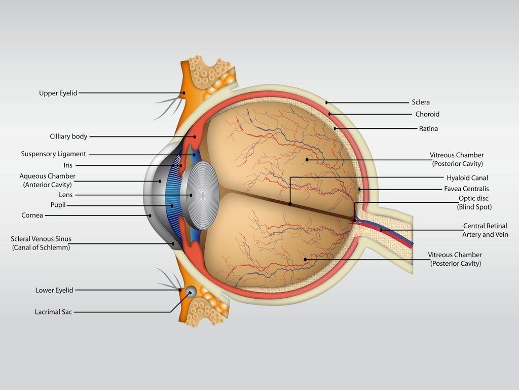 Free Vector Eye Anatomy Vector | eyes | Pinterest | Human eye ...