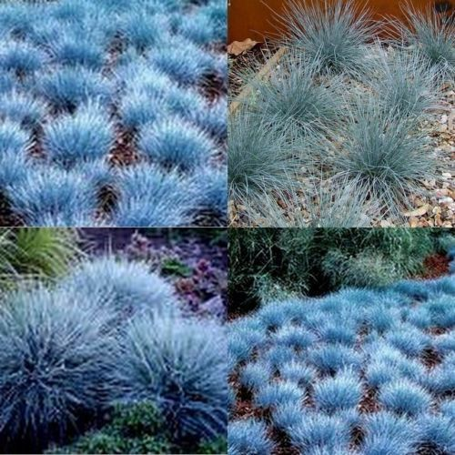 15 blue fescue grass dwarf festuca glauca garden plants for Blue fountain grass
