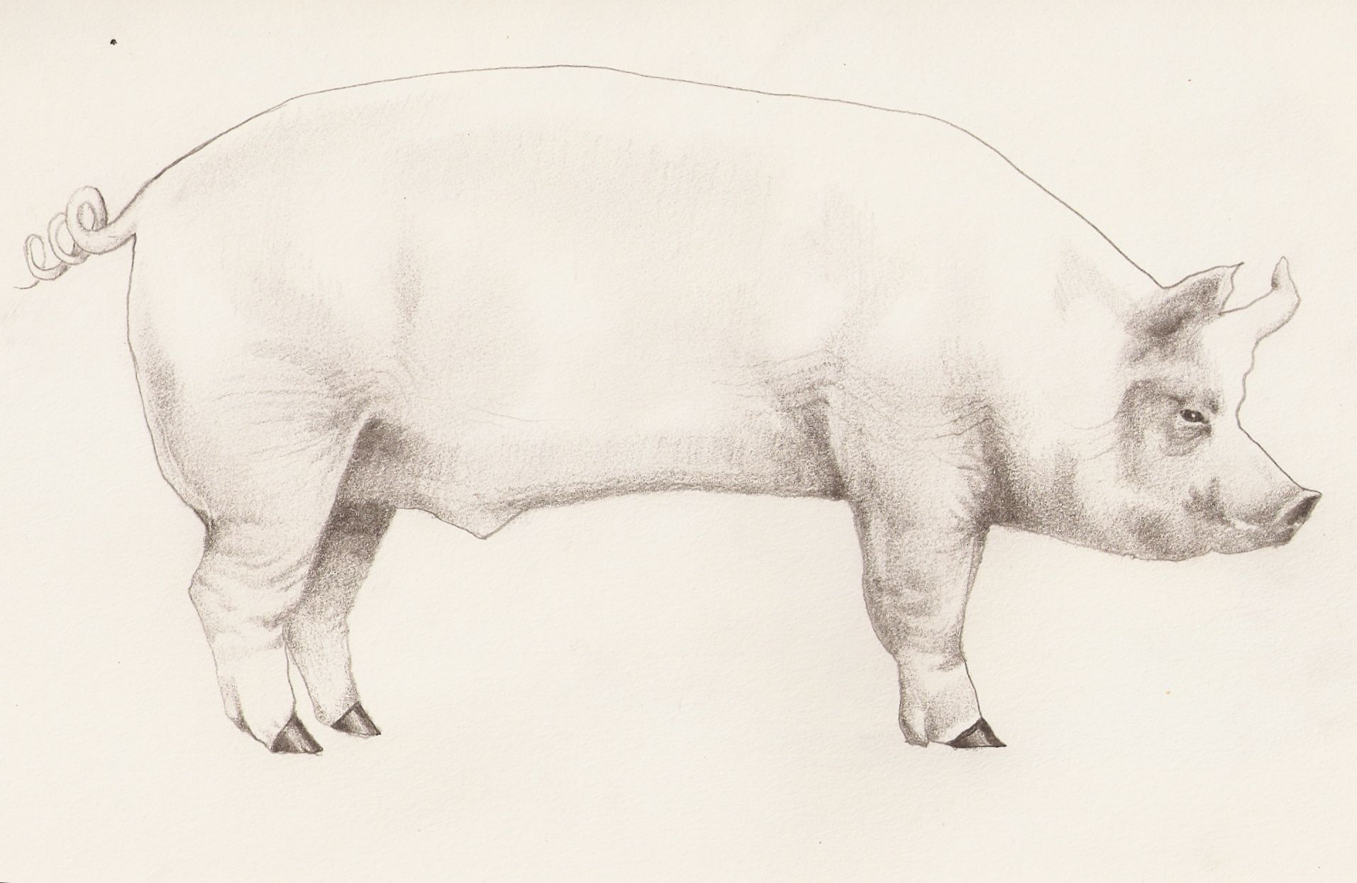 Свинья рисунок карандашом
