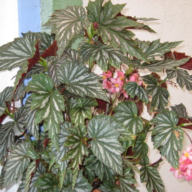 Angel Wing Begonia With Images Flower Garden Plants Begonia