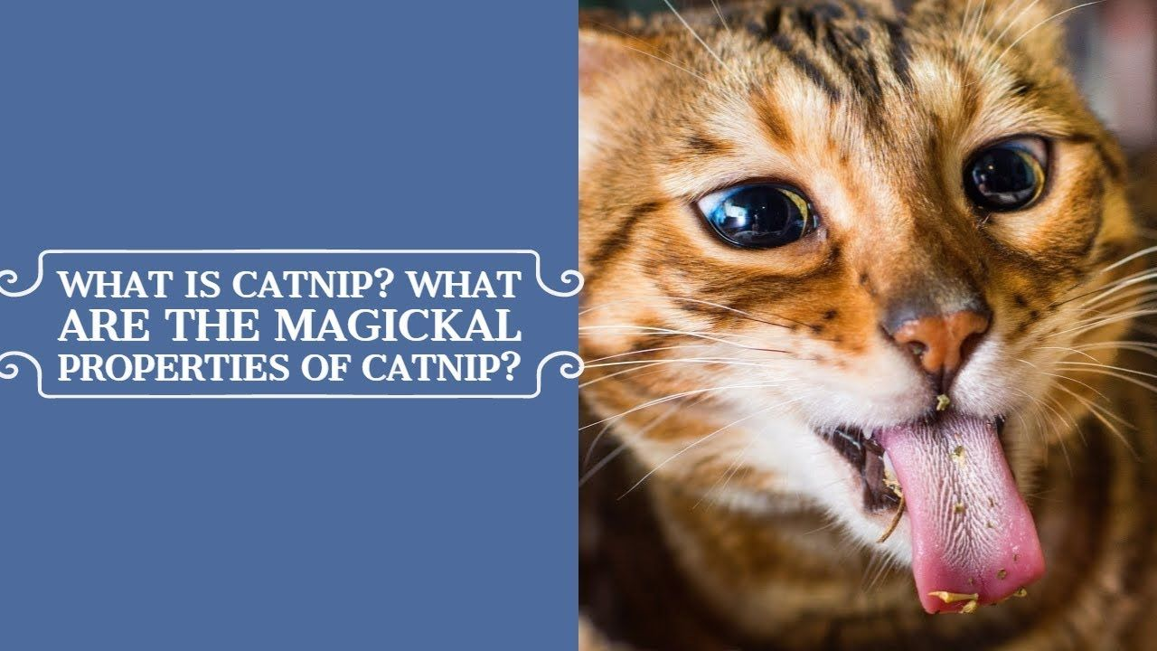 What Is Catnip What Are The Magickal Properties Of Catnip Magick Catnip Orisha