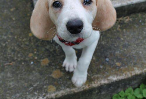 Beagle Pup Beagle Puppy Kelsey Miller Hound Dog