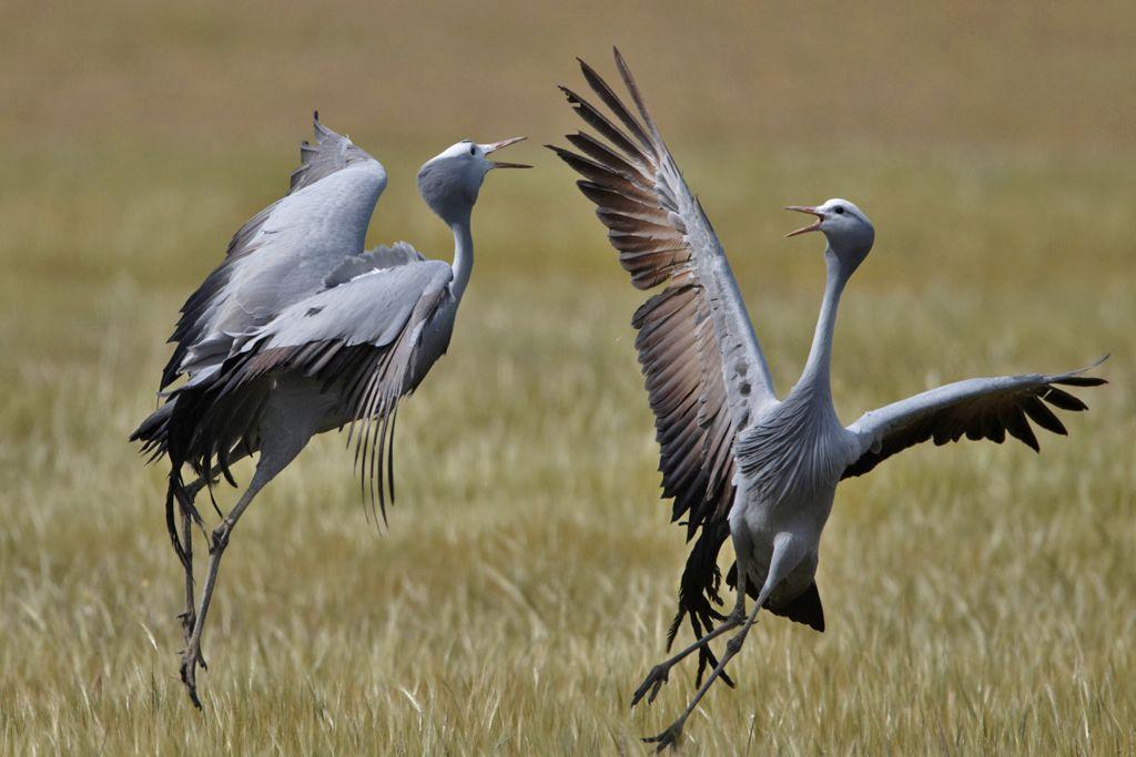 Blue Crane Blue Cranes Pinterest Endangered Species Bird