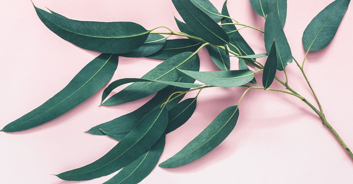 7 Impressive Benefits Of Eucalyptus Leaves Eucalyptus Leaves Leaves Eucalyptus Tea