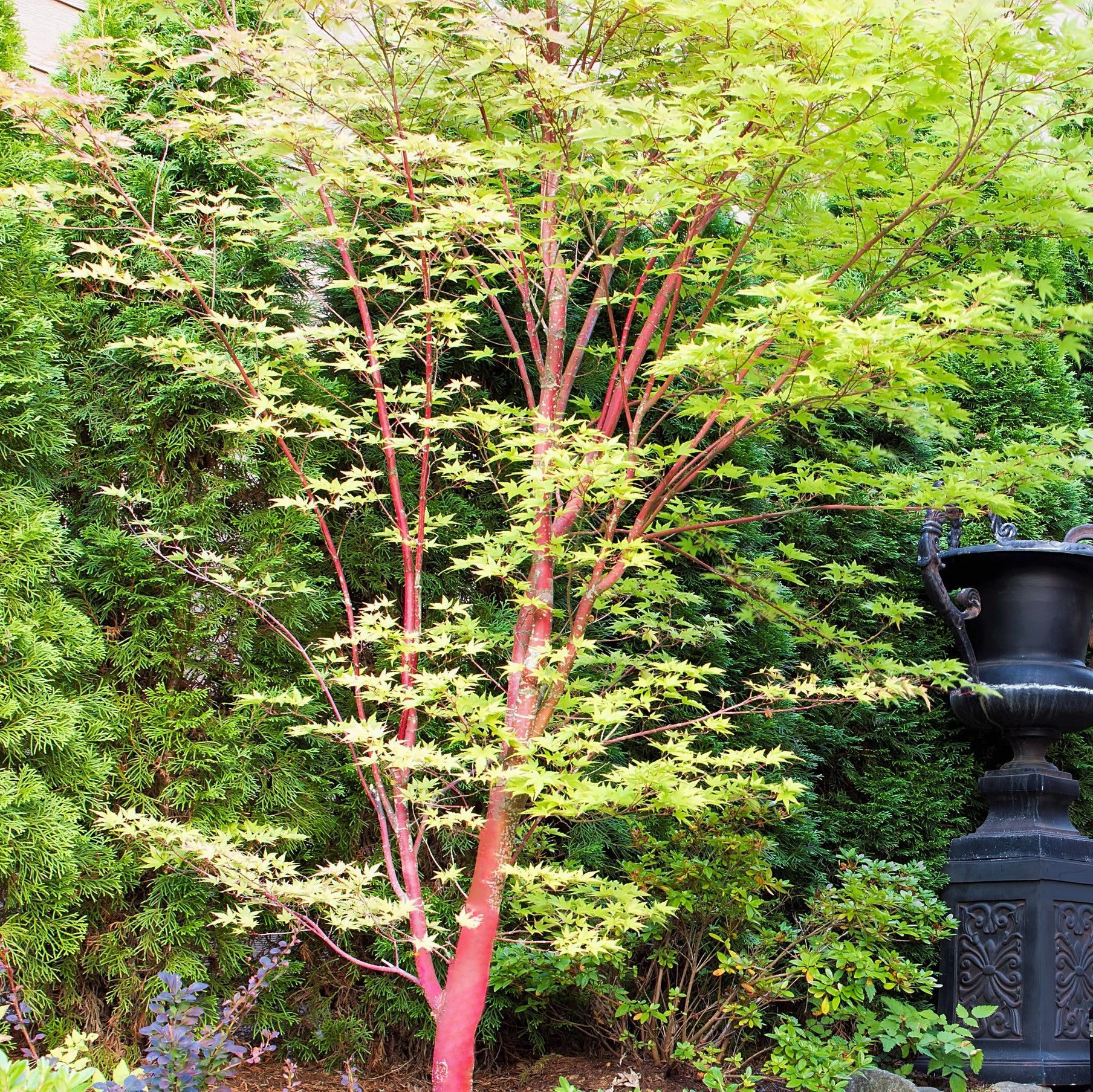 Coral Bark Japanese Maple With Images Coral Bark Japanese