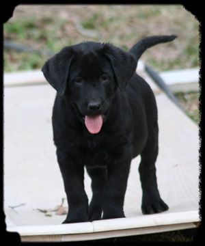 Spunkster Cuteeee Blacklab Labrador Puppy Girl Lab Dogs Lab Puppies Black Labs Dogs