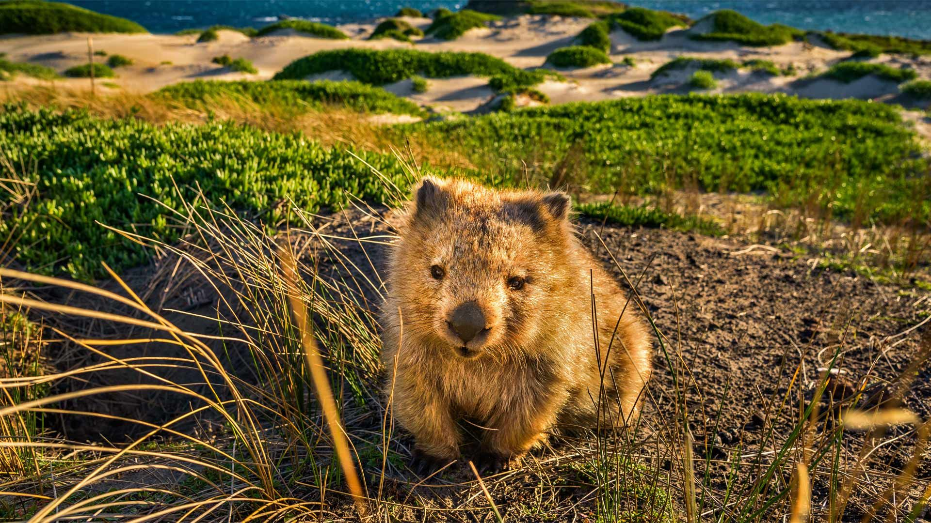 A common wombat at Point Lesueur on Maria Island in