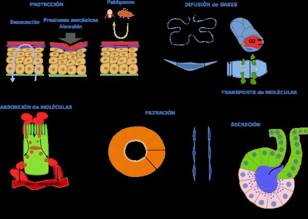 TEJIDO EPITELIAL Los epitelios constituyen uno de los cuatro tejidos ...