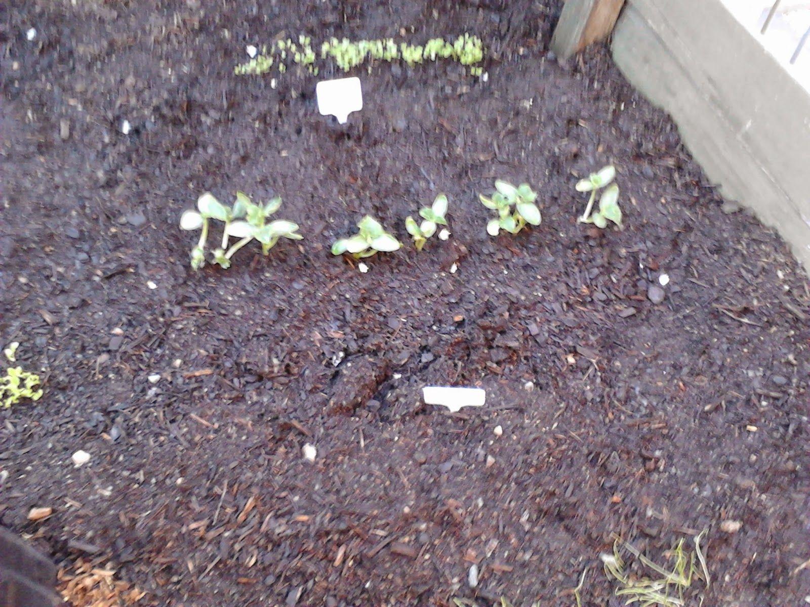 seeds seedling fruit veggie veggie patch vegetables planting dirt