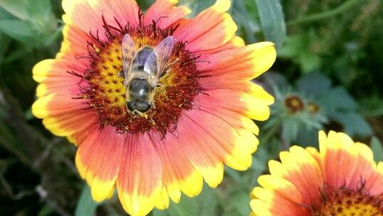 Pollenater