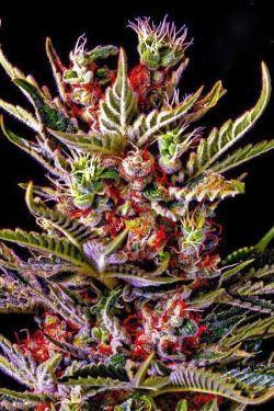 Free marijuana stuff by mail
