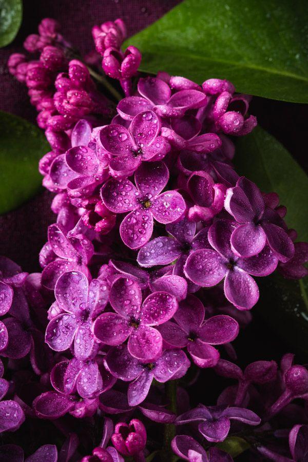 Lilacs Lilac Flowers Lilac Flowers