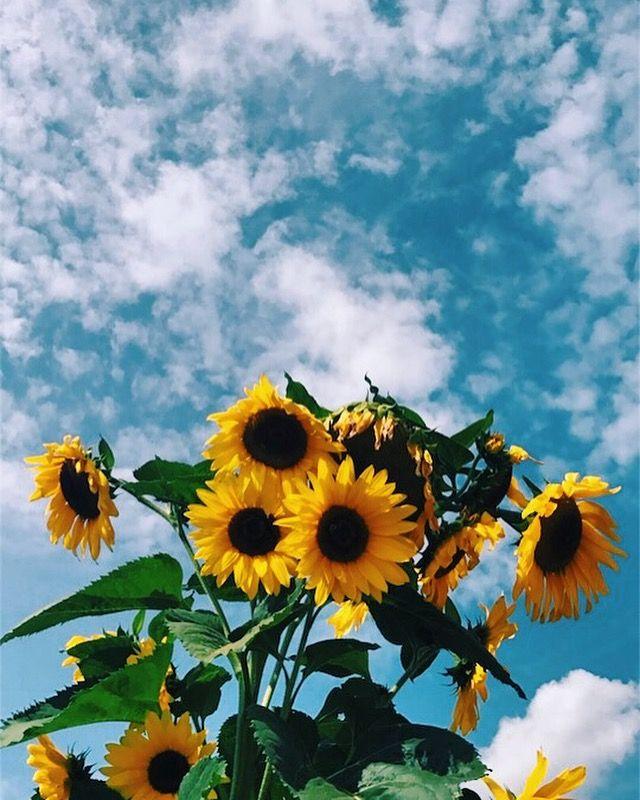 WALLPAPER | Sunflower wallpaper, Aesthetic iphone ...