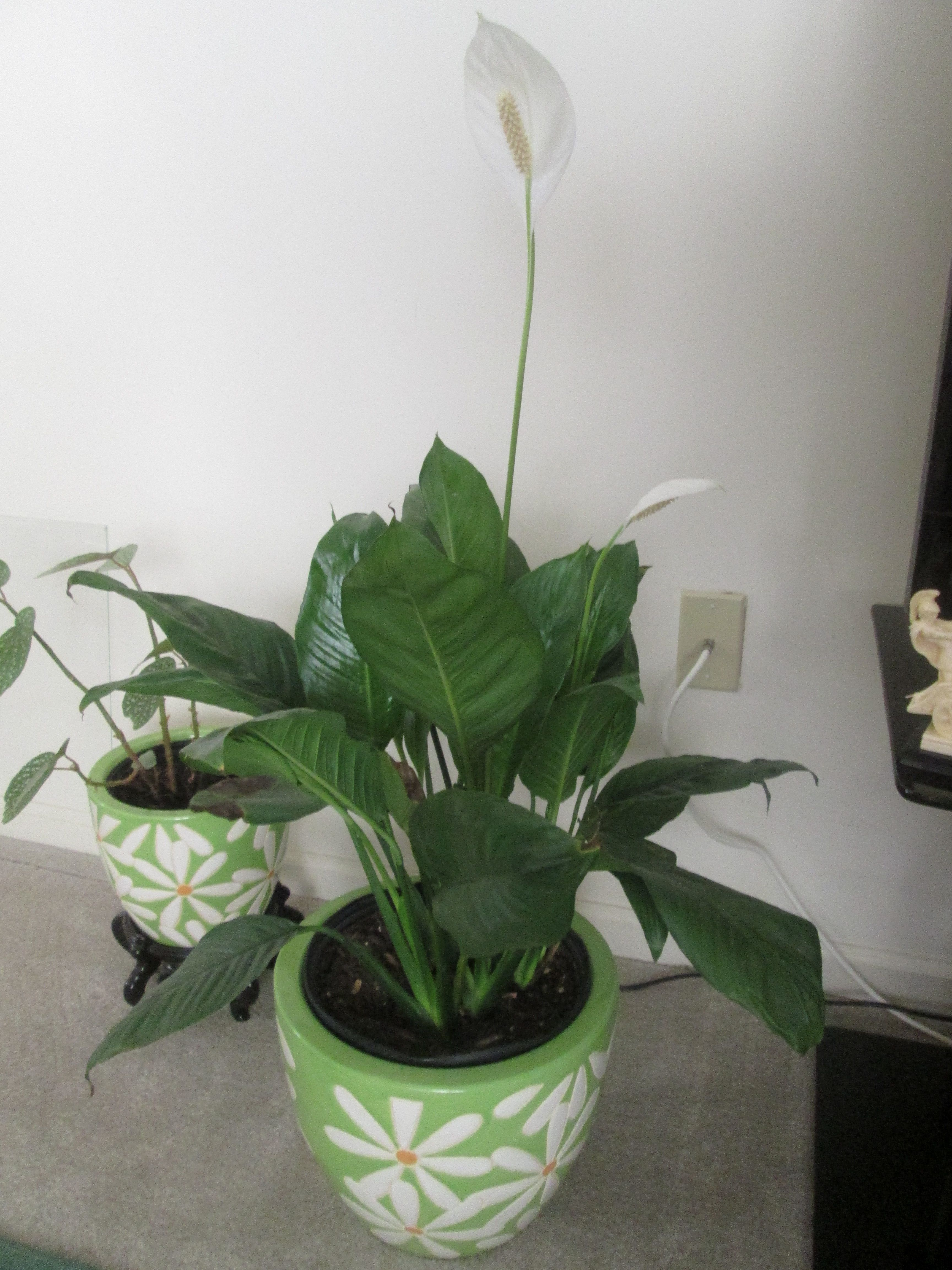 White flowers Peace Lily, Spathiphyllum flowering Peace