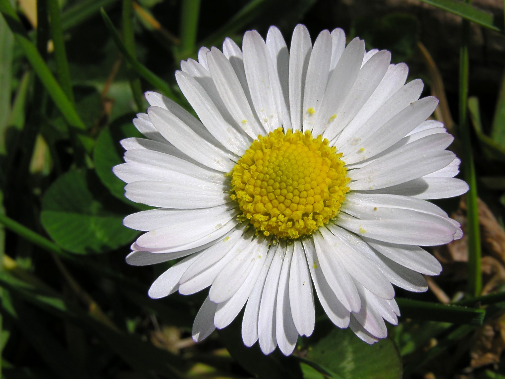 Perennials daisy flowers daisy flowers is basically from sunflower family this flower shows the simplicity faith and love daisy flowers have many colors like white yellow izmirmasajfo Images