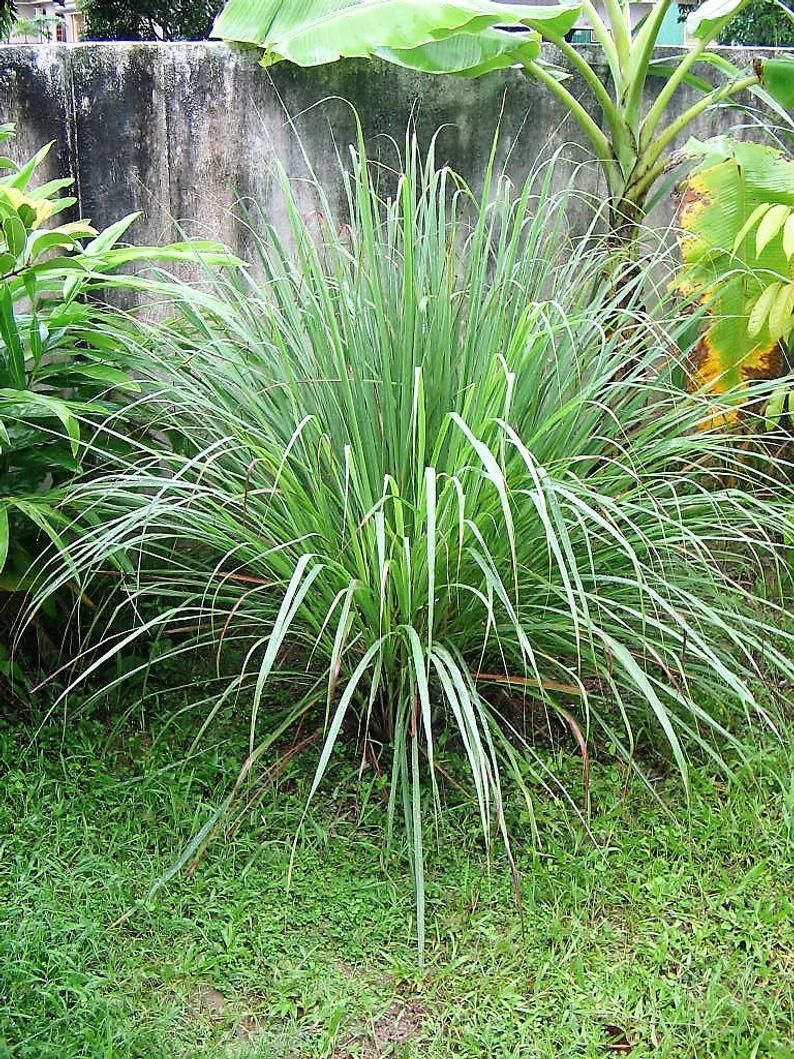 100 Lemongrass East Indian Lemon Grass Fragrant Ornamental Etsy Mosquito Repelling Plants Mosquito Plants Mosquito Repellent