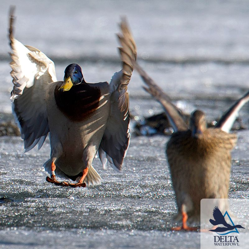 Delta Duck Facts: After Pairing Up, Mallard Males Never