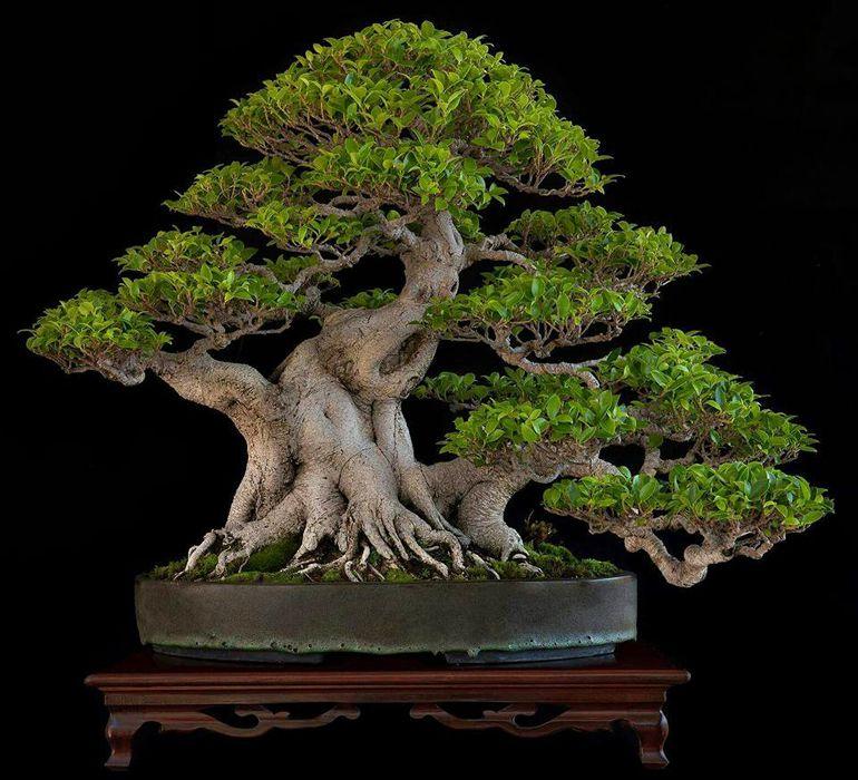 Tiger Bark Ficus Ficus Retusa Bonsai Tree Indoor Bonsai Tree Bonsai Ficus