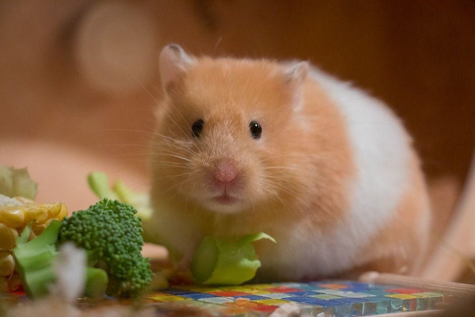 Hledate Nenarocneho Mazlicka Pro Deti Poridte Jim Krecka Cute Hamster Names Cute Hamsters Dwarf Hamster