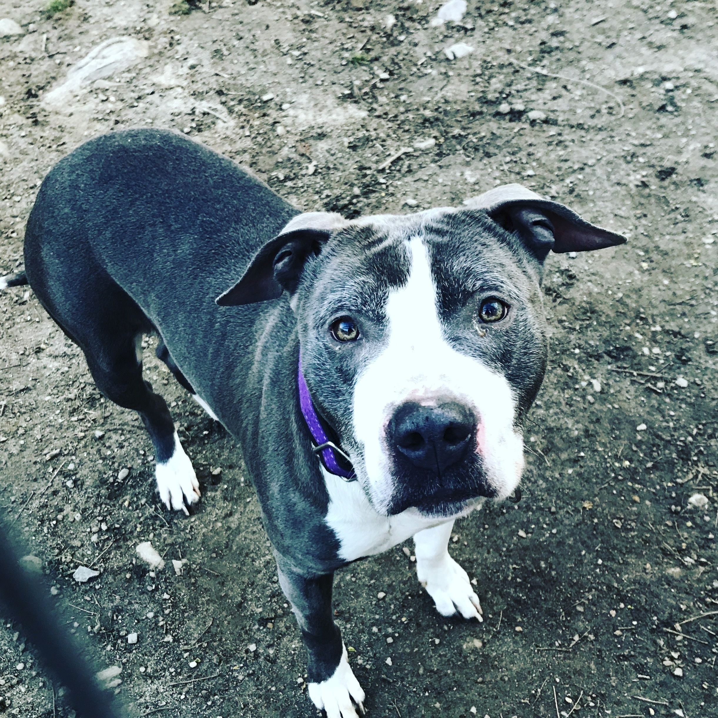 Adopt Bonsai On Pitbull Terrier Terrier Mix Dogs
