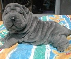 a fuck shar to pei how