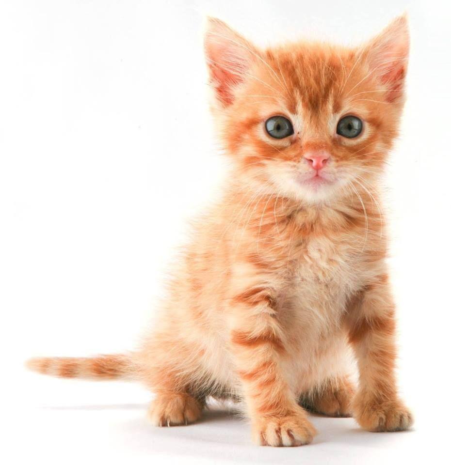 Orange Cutie Tabby Kitten Cats And Kittens Tabby Kitten Orange