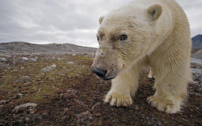 Em Svalbard, arquipélago Ártico da Noruega, uma câmera escondida flagra um urso polar em área sem gelo
