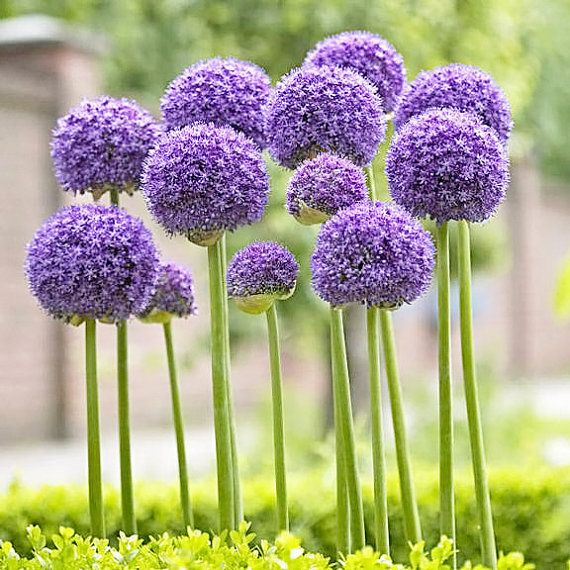 A single stem with basal foliage supports a round cluster of purple a single stem with basal foliage supports a round cluster of purple flowers full sun 32 36 tall blooms early summer zone 4 10 alliums are deer mightylinksfo