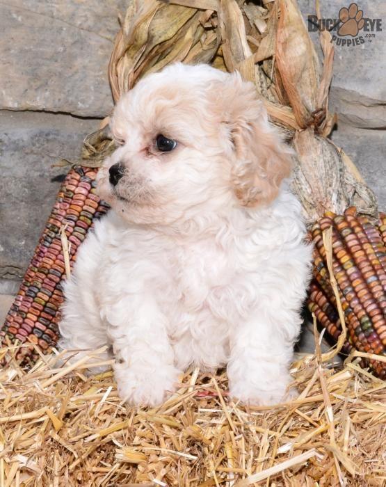 Sophie! - Teddy Bear Puppy for Sale in Millersburg, OH
