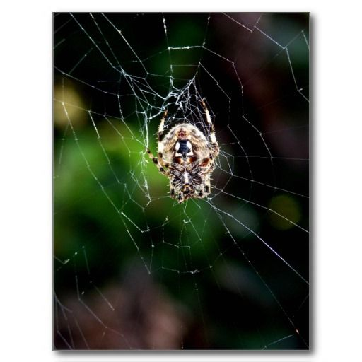 Orb Weaving Garden Spider Postcard