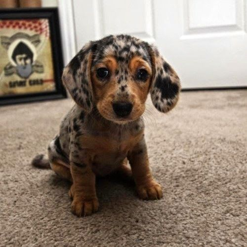Catahoula Leopard Dog Leopard Dog Dachshund Puppies Catahoula
