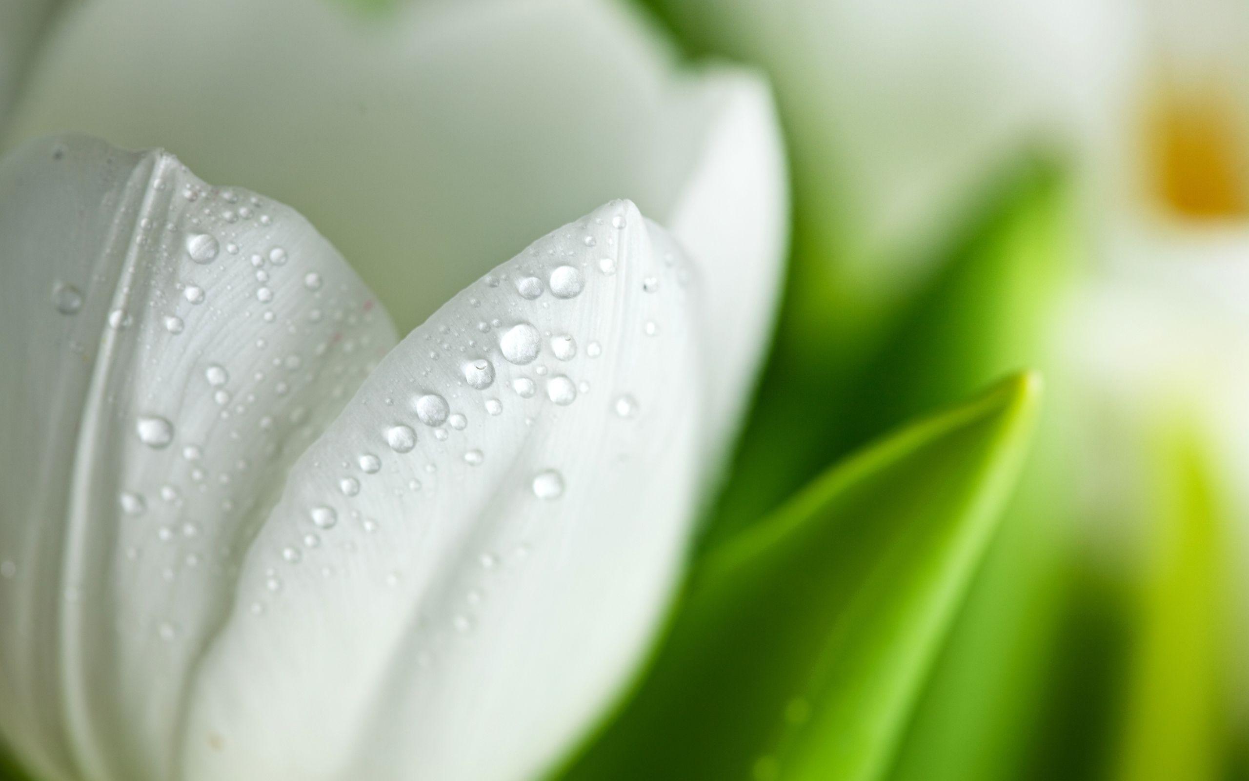 White Tulip Flower Wallpaper