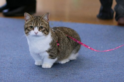 The 10 Smallest Cat Breeds In The World Munchkin Cat Cat Breeds Cats