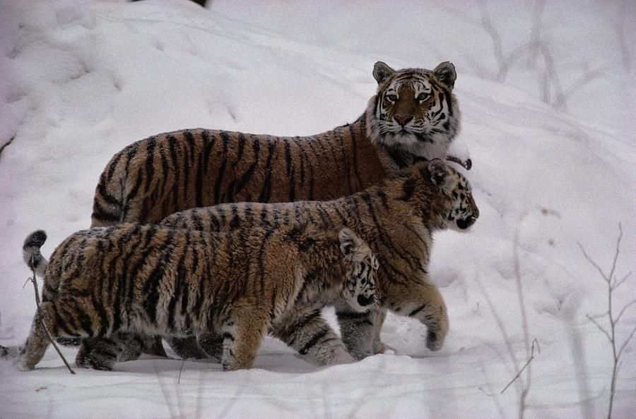 A Captive Siberian Tiger And Her Cubs Siberian tiger