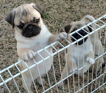 Pug Puppy For Sale In Leland Nc Adn 66969 On Puppyfindercom