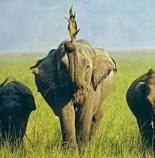 Een Indische olifant heeft alle wildlife experts versteld doen staan door regelmatig varanen te vangen en deze dagenlang mee te dragen als speeltje.