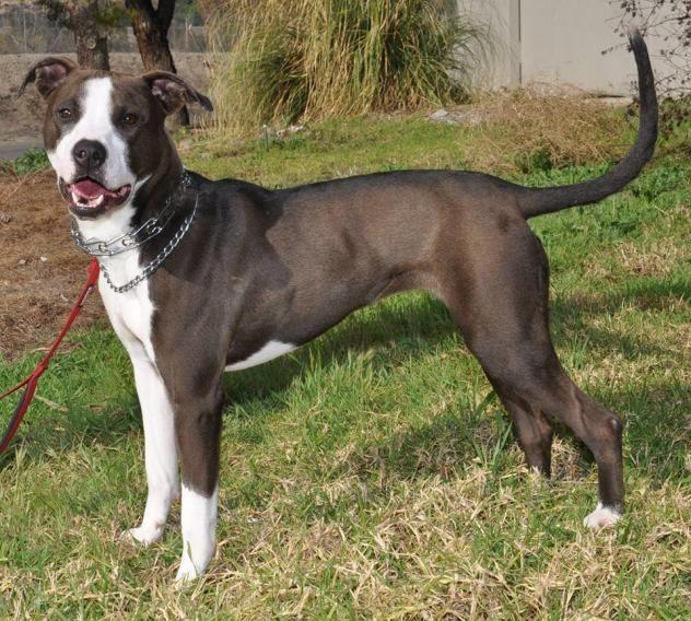 Adopt Piper On Dogs Pitbull Terrier Dog List