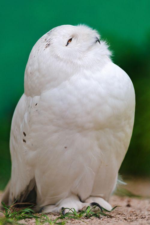 Snowy owl looking upwards (by Tambako the Jaguar)