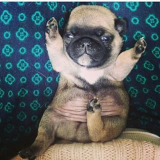 This Petite Pug Who Wants Your Love Newborn Puppies Baby Pugs