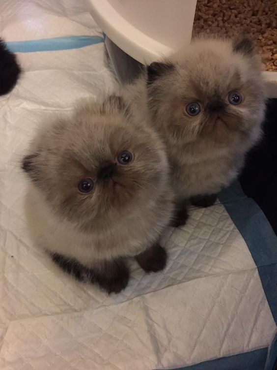 My Babies Lindsey Bailey 3 Tag A Catlady Persiancat