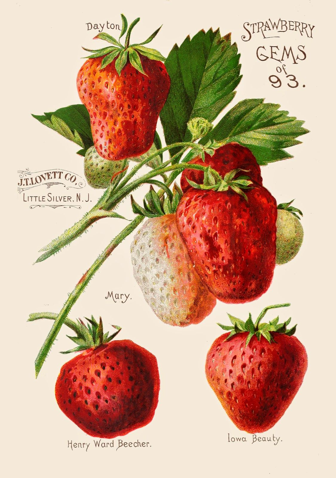 Seed Catalog Vintage Seed Packets Strawberry Seeds