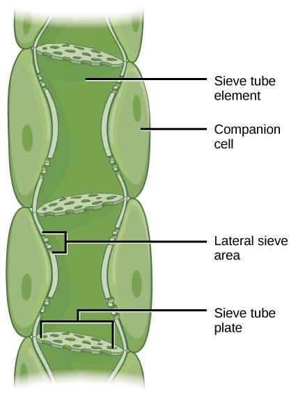 Sugar Transport In Plants Phloem Biology 1520 Biology Plants Biology Lessons Plant Science