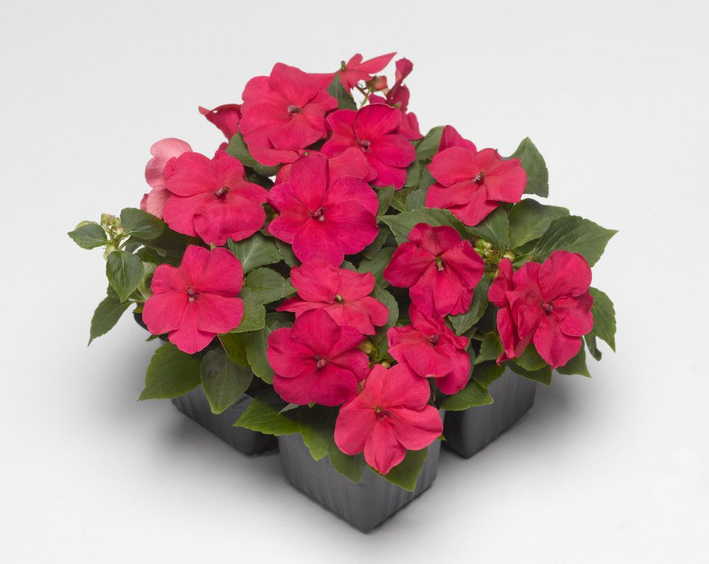 500 impatiens seeds xtreme punch bulk flower seed for sale we offer many kinds of flower and garden seeds by nurseryseeds izmirmasajfo