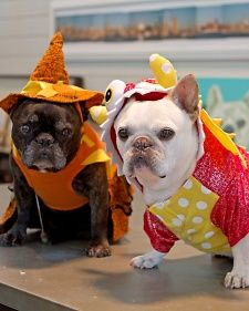 My Frenchies, Francesca and Sharkey, are hosting a Halloween Canine Costume Contest! Enter your photos with #shriecorchic for a chance to win a basket full of #marthastewartpets @petsmartcorp treats!