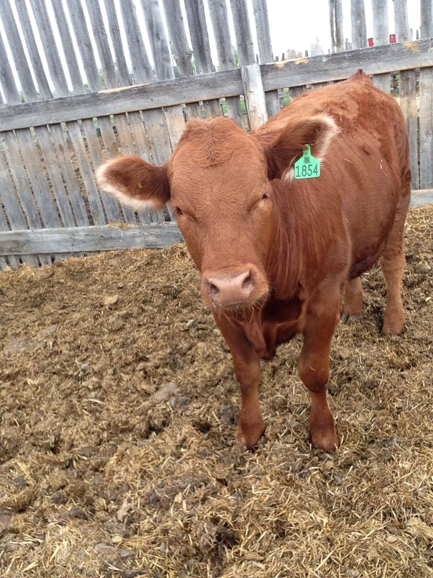 Best 4-H cow ever love at first site❤️