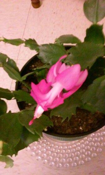 My Christmas Cactus .