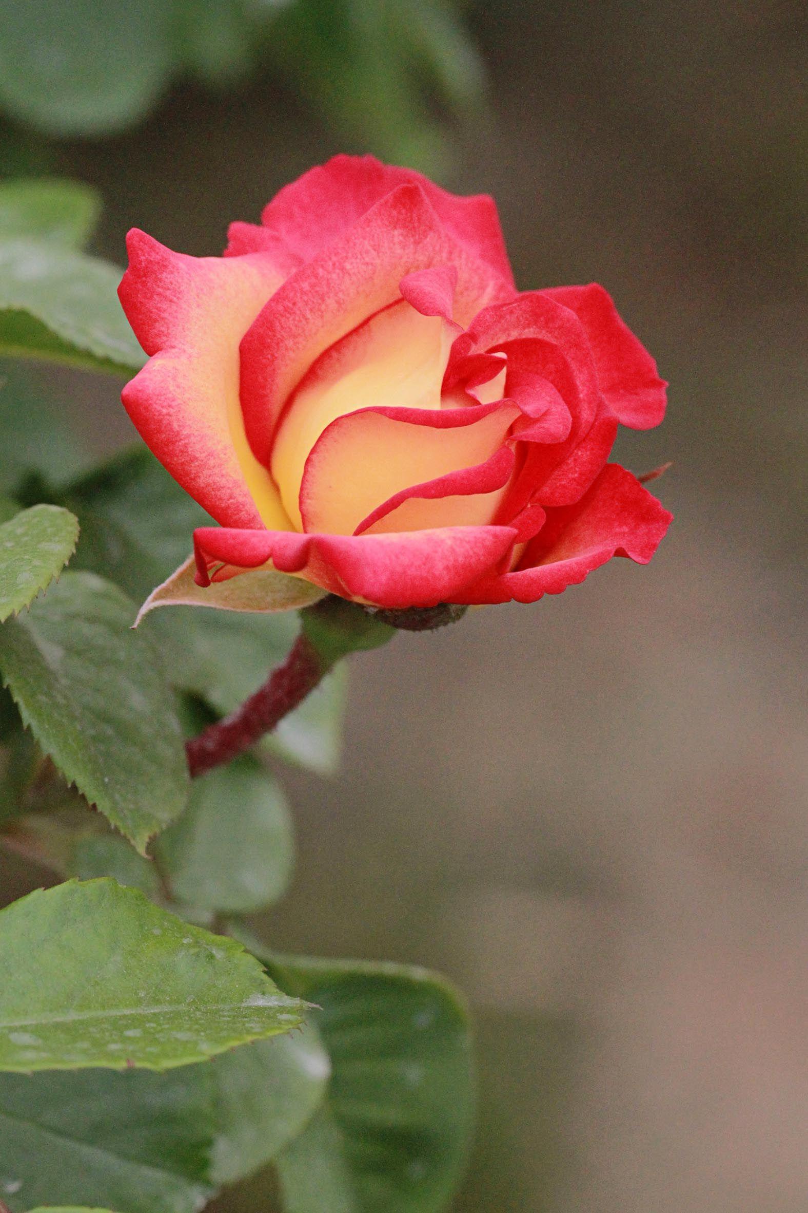 China Rose Beautiful Flowers Amazing Flowers Love Rose Images