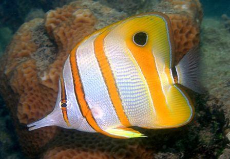 Butterflyfish Pelagic Fish Marine Fish Fish