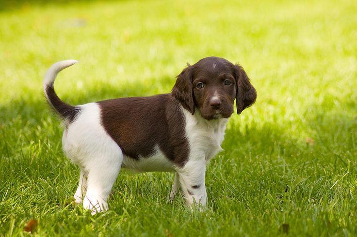 Small Munsterlander Hunde Informationen Zu Den Rassen Omlet Munsterlander Welpen Hunde Hunde Rassen