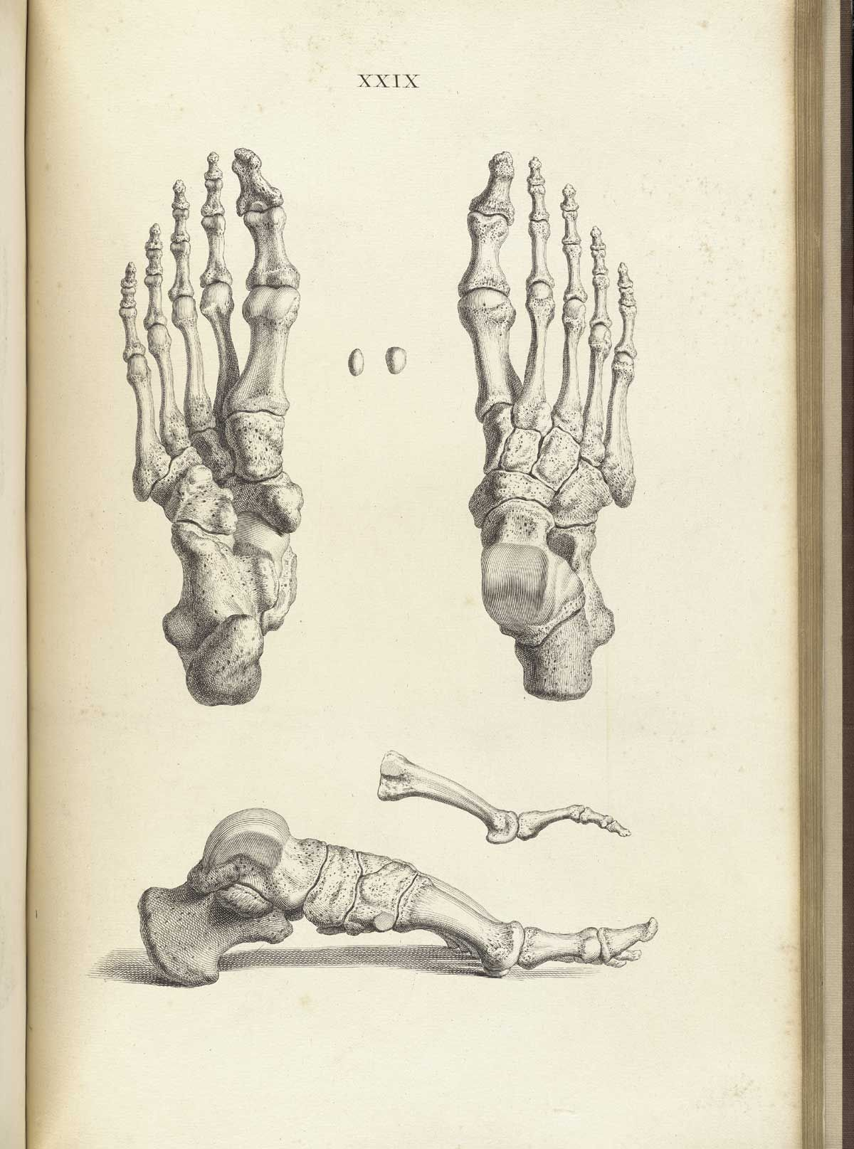Bones of the foot, from William Cheselden\'s Osteographia, NLM Call ...